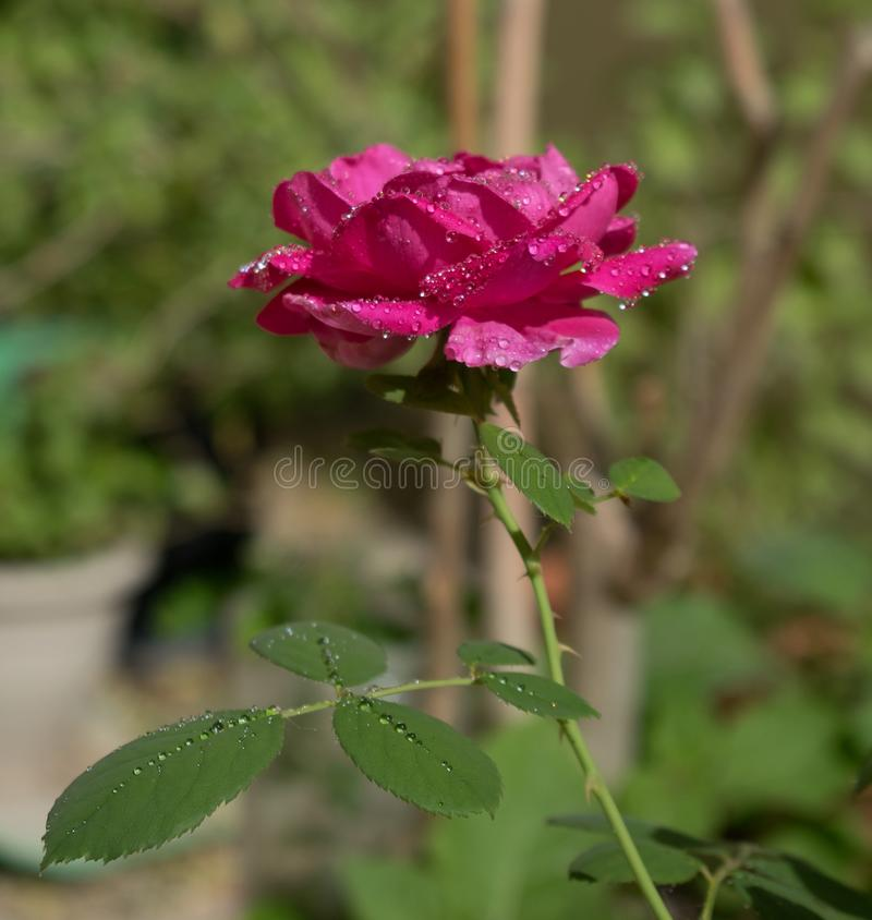 Dew drops on rose flower royalty free stock photos