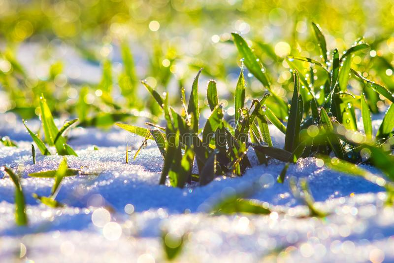Dew drops sparkle on grass that sprouts through the snow. Winter wheat crops_. Dew drops sparkle on grass that sprouts through the snow. Winter wheat crops royalty free stock image