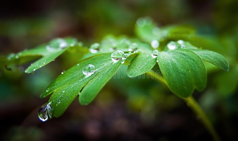 Dew drops sparkle on the leaves of the green plant_. Dew drops sparkle on the leaves of the green plant stock photography