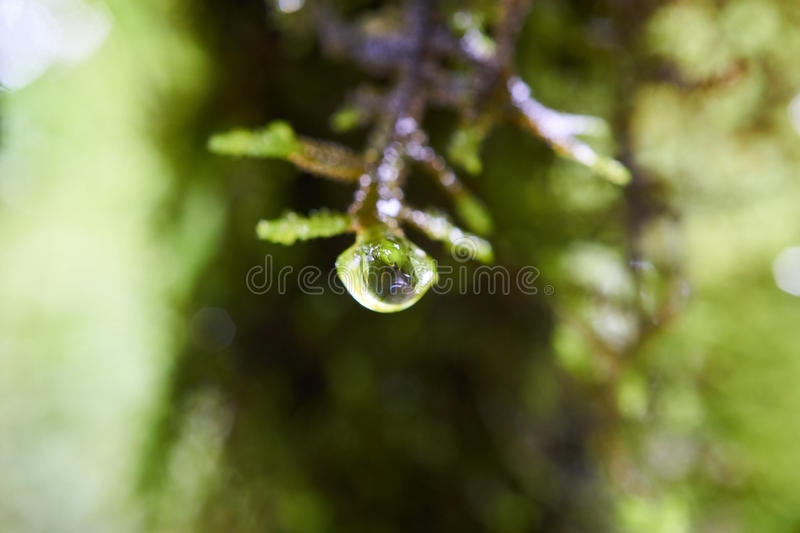 A dew at the edge of some green moss royalty free stock photography