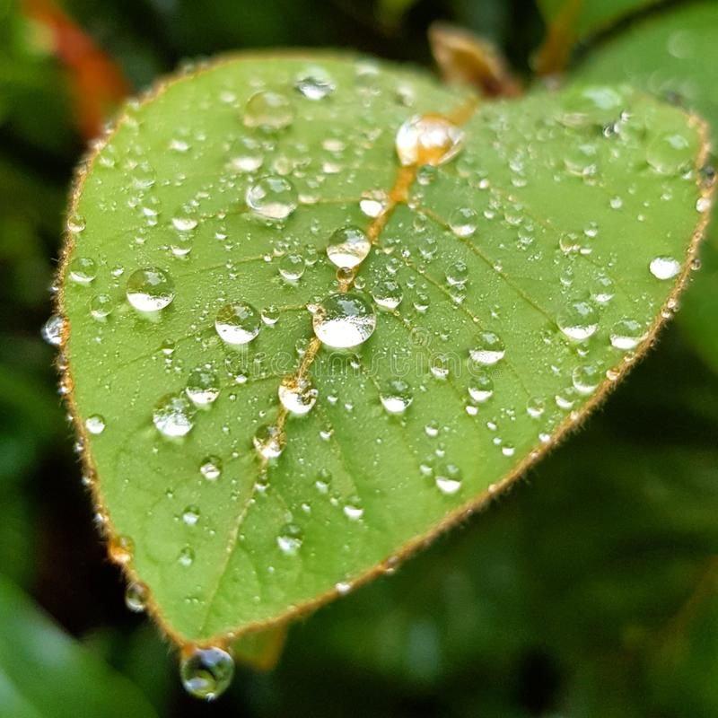Water drops on leaf royalty free stock images