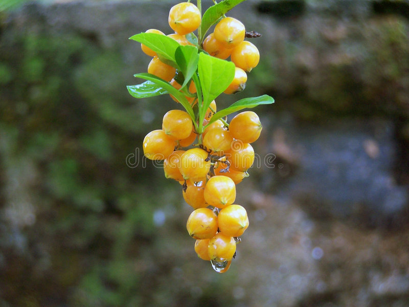 Download Dew-fresh stock photo. Image of leaves, organic, drops - 109034