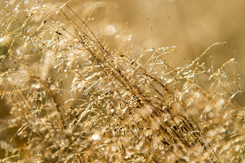 Download Dew on Golden Grass stock photo. Image of grassland, botany - 26596240