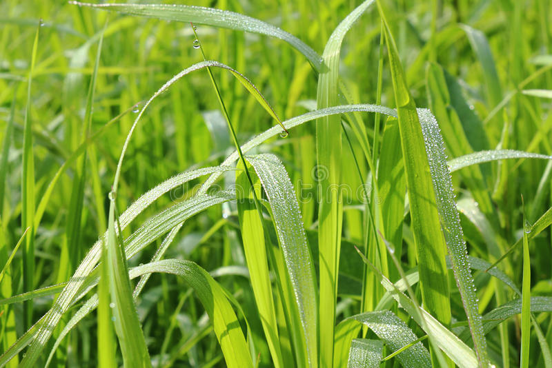 Download Dew on the grass. stock image. Image of grass, green - 20369835