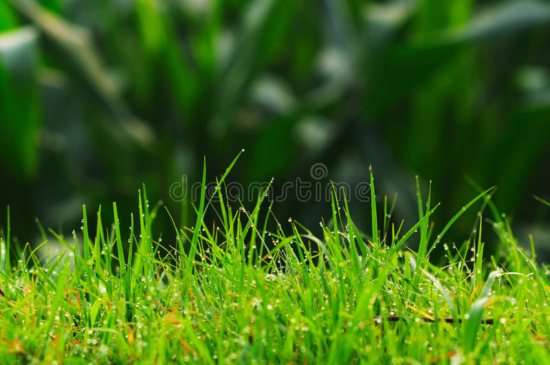 The dew in the grass