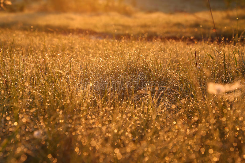 Dew on the grass in beam of sunlight. Dew on the grass in sunlight - golden blurred background royalty free stock photos