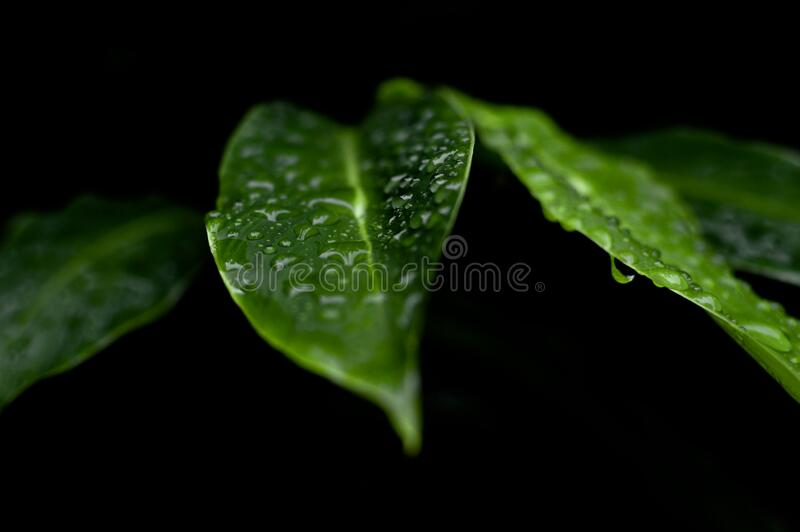 Dew in Green Leaves royalty free stock image