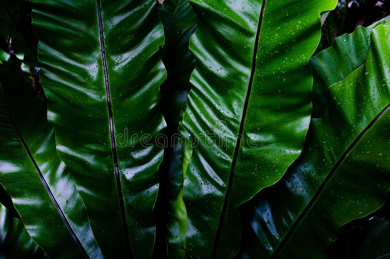 Dew and Green leaves background. Green leaves color dark tone after raining in the morning. Tropical Plant , environment,fresh,photo concept nature and plant royalty free stock image