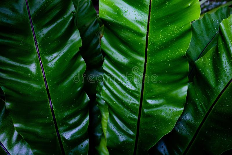 Dew and Green leaves background. Green leaves color dark tone after raining in the morning. Tropical Plant , environment,fresh,photo concept nature and plant stock image