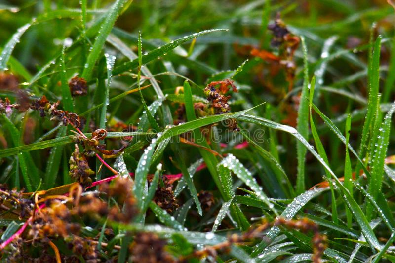 Dew on green lush grass. Dew on the green juicy grass that smells freshness, freedom and carelessness royalty free stock photography