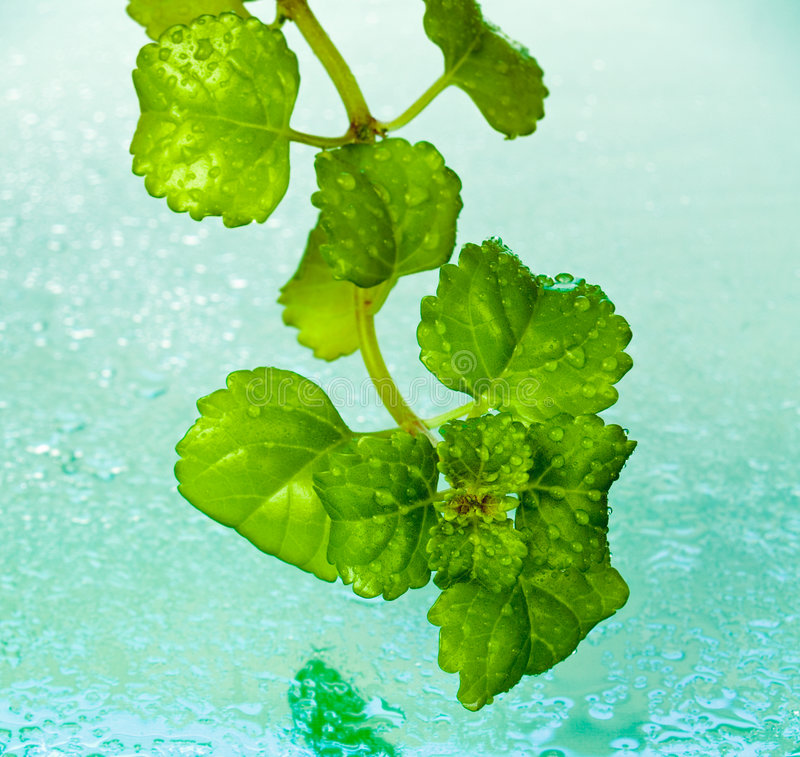 Dew on ivy leaves. Dew drops on ivy leaves against wet turquoise background royalty free stock image