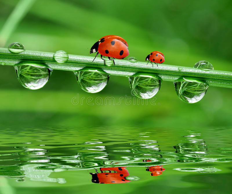 Dew And Ladybird Royalty Free Stock Photo