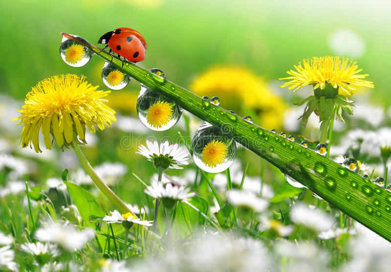 Download Dew and ladybird stock image. Image of ladybug, bubble - 24468905