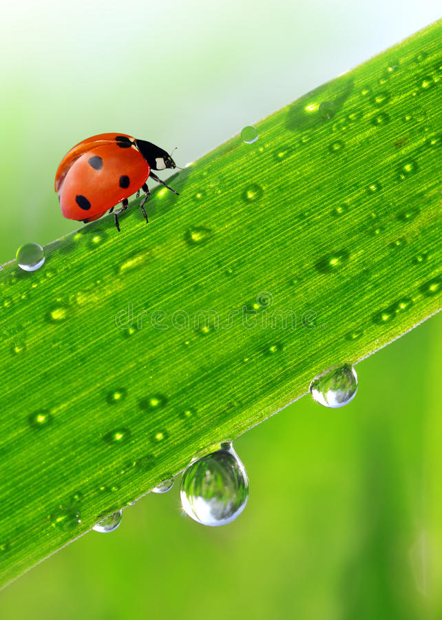 Download Dew and ladybird stock image. Image of plant, ladybug - 24660417