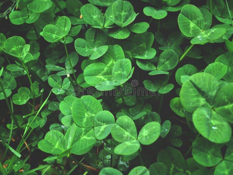 Dew on the leaves of white clover, morning dew. Desktop wallpaper stock photos