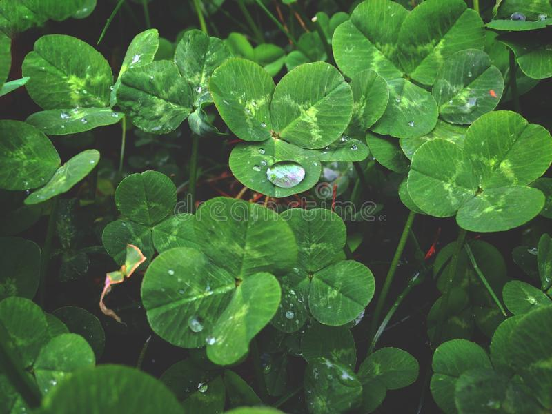 Dew on the leaves of white clover, morning dew. Desktop wallpaper royalty free stock photography