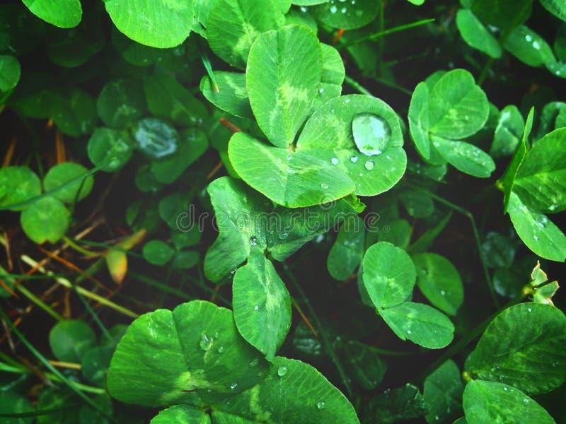 Dew on the leaves of white clover, morning dew. Desktop wallpaper royalty free stock image