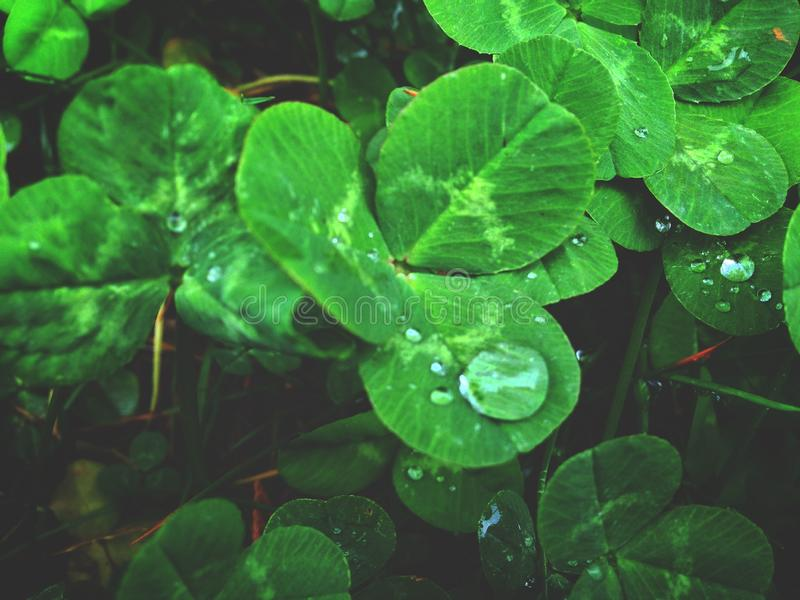 Dew on the leaves of white clover, morning dew. Desktop wallpaper stock photography