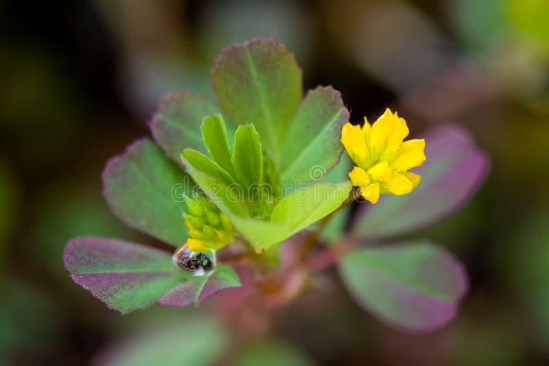 Dew on Little Hop Clover, Trifolium dubium. Reflection in Dewdrop on Wildflower Little Hop Clover, Trifolium dubium stock image