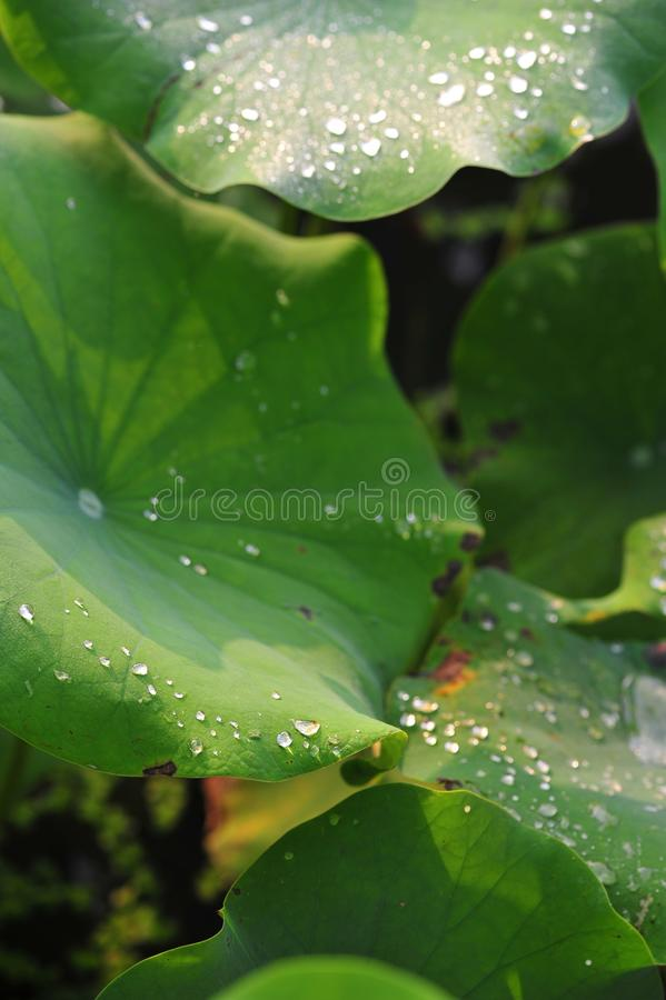 Dew on the lotus leaf stock photo