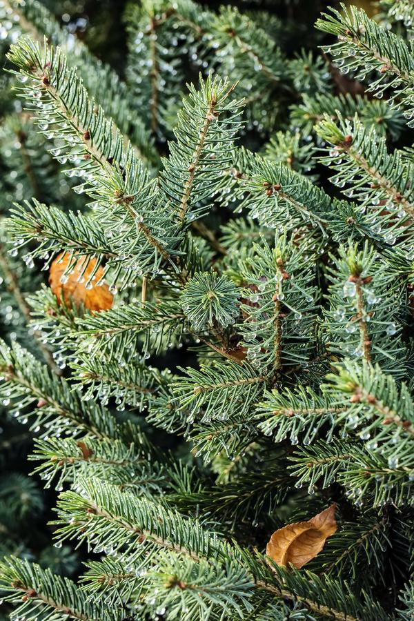 Free Dew On The Needles Of Spruce. Stock Photography - 103215882