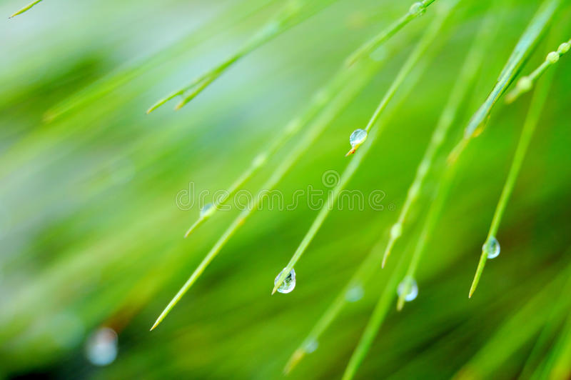 Dew on pine leaf royalty free stock photography