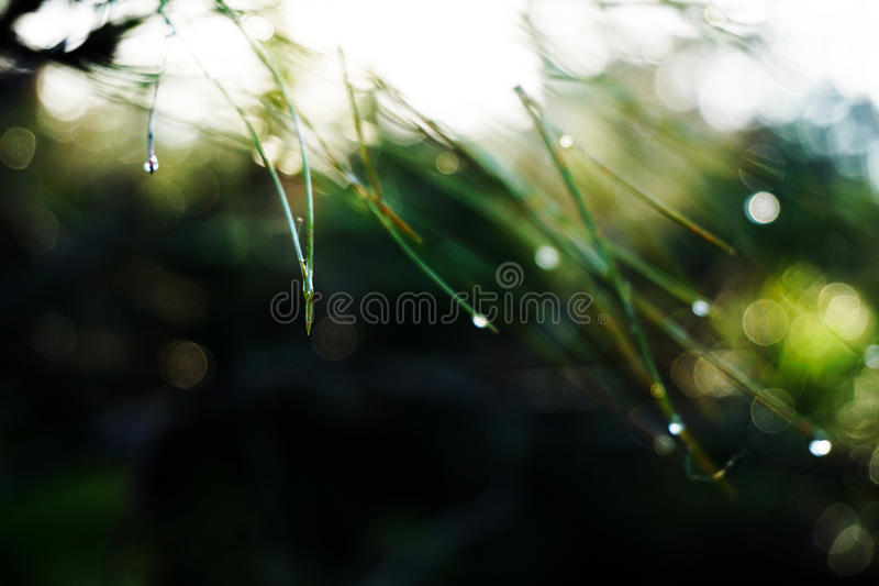 Dew on the pine leaves royalty free stock photos