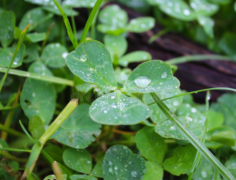 Dew, rain drops, droplets on leaves of Trifolium common Clover green plant, macro. Photography royalty free stock photography