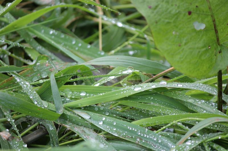 Dew and raindrops on green reed leaves and grass royalty free stock images