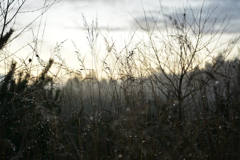Dew at the rising sun. Beautiful drops of water on the grass, pines, shrubs. In the background, the rising sun and the golden, morning sky royalty free stock images