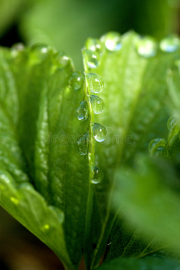 Download Dew on a strawberry leaf stock image. Image of leaves - 7054033