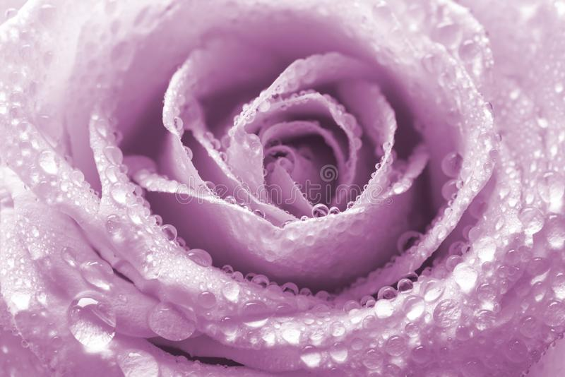 Dew or water droplets on petal of beautiful rose flower lilac color. Floral nature background. Macro shot royalty free stock photography