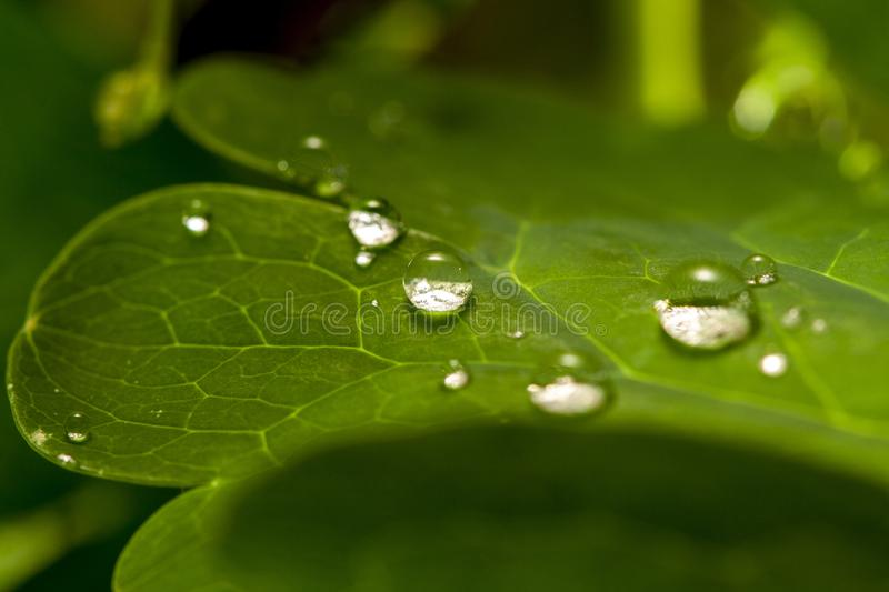 Dew water drops on green grass leaf close up royalty free stock image