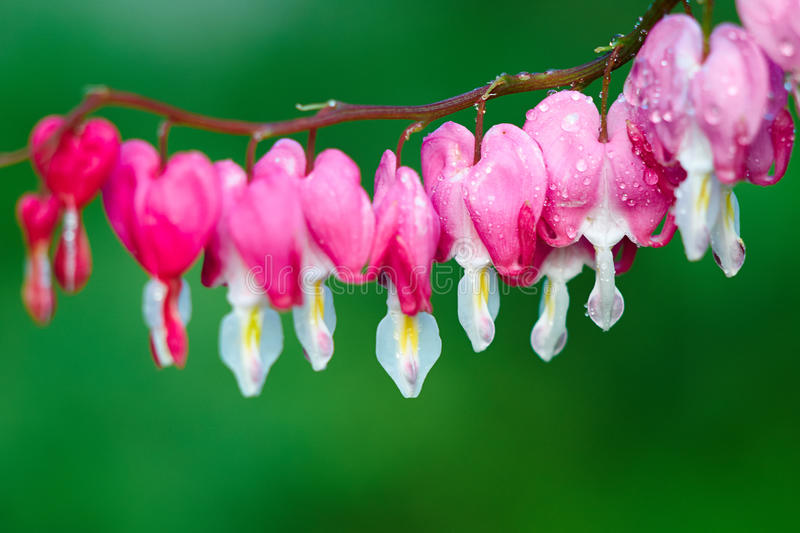 Dewdrop dicentra spectabilis. The image taken in china's daqing city residence community.Dicentra spectabilis royalty free stock images