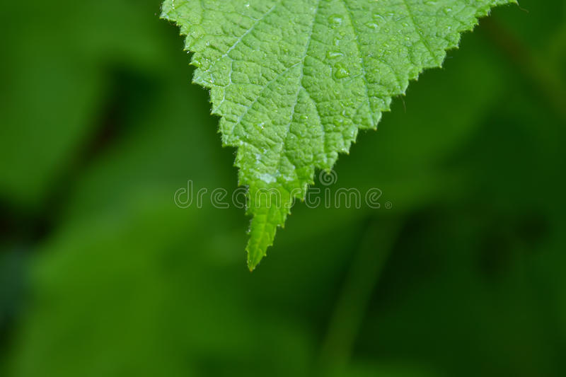 Dewdrop on a green leaf stock image
