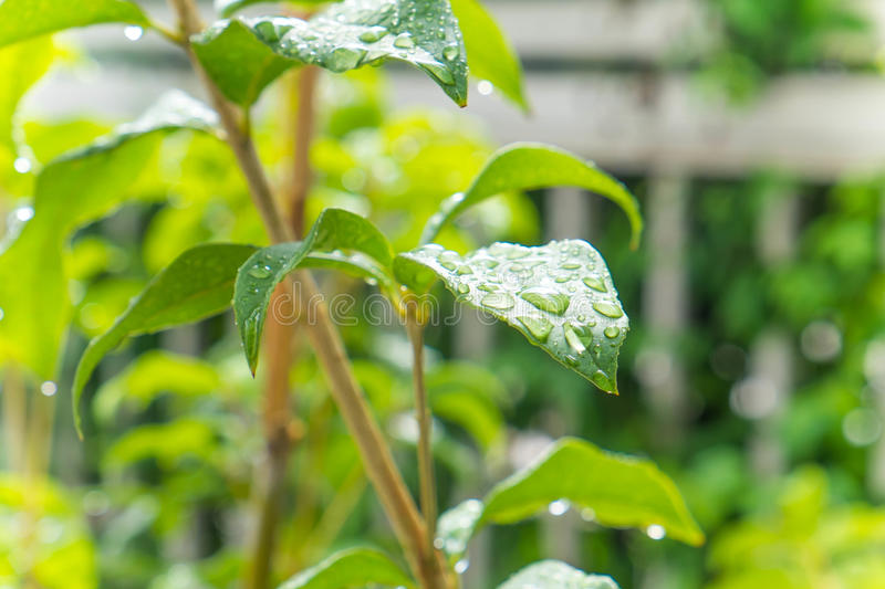 Dewdrop on green leaves in the morning stock photography