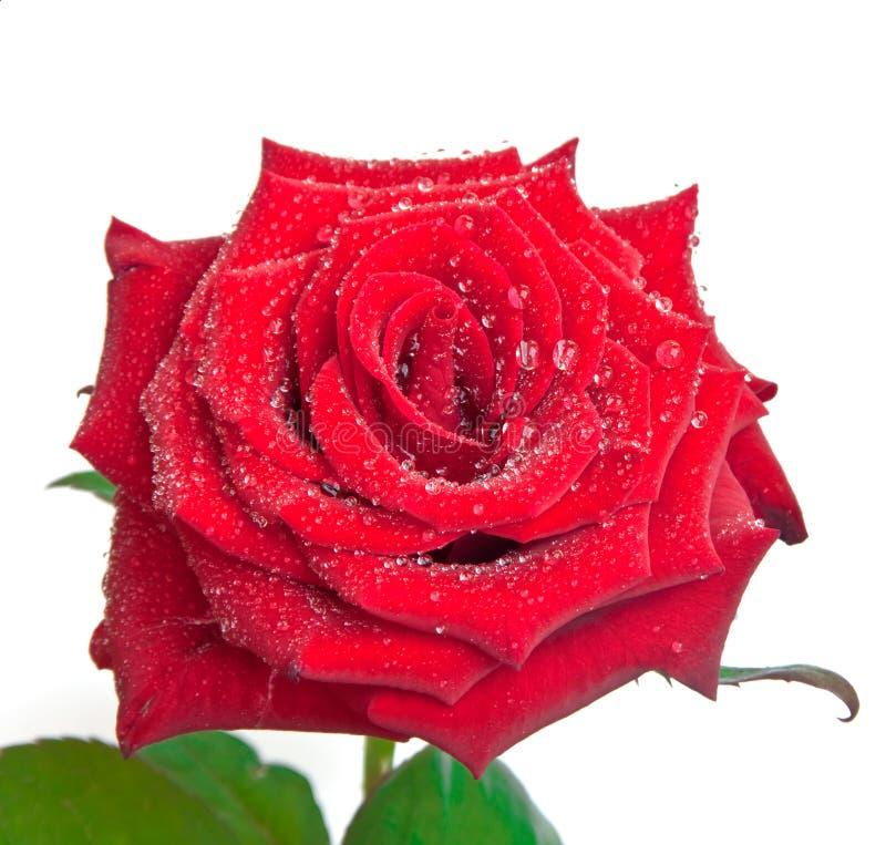 Dewdrops auf einer Rose lizenzfreie stockfotografie