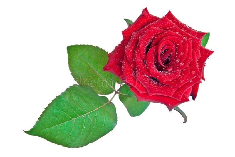 Dewdrops auf einer Rose stockfotografie