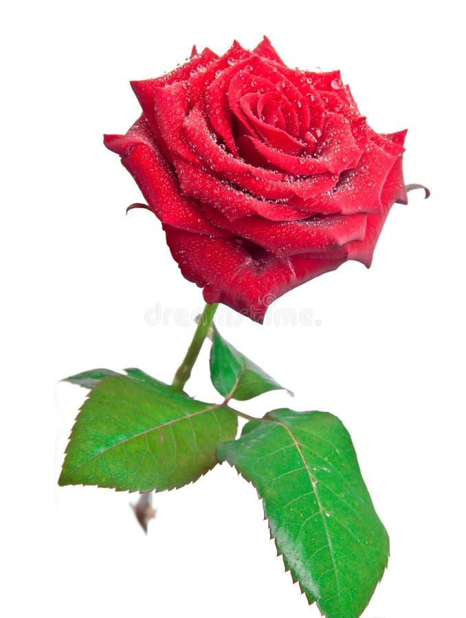 Dewdrops auf einer Rose stockfoto