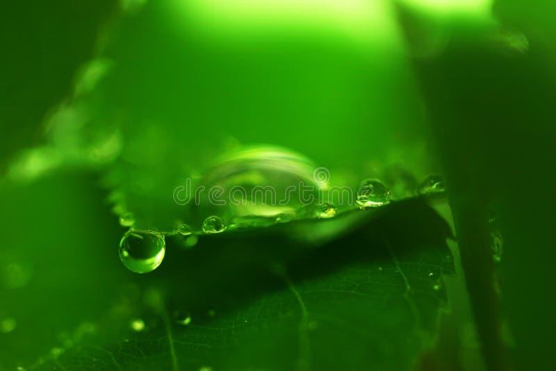 Dewdrops auf Hartriegelblatt lizenzfreie stockfotos