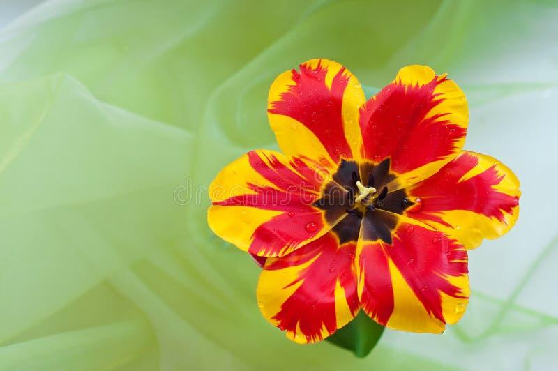 Download Tulipa bonita imagem de stock. Imagem de vermelho, mola - 29831033