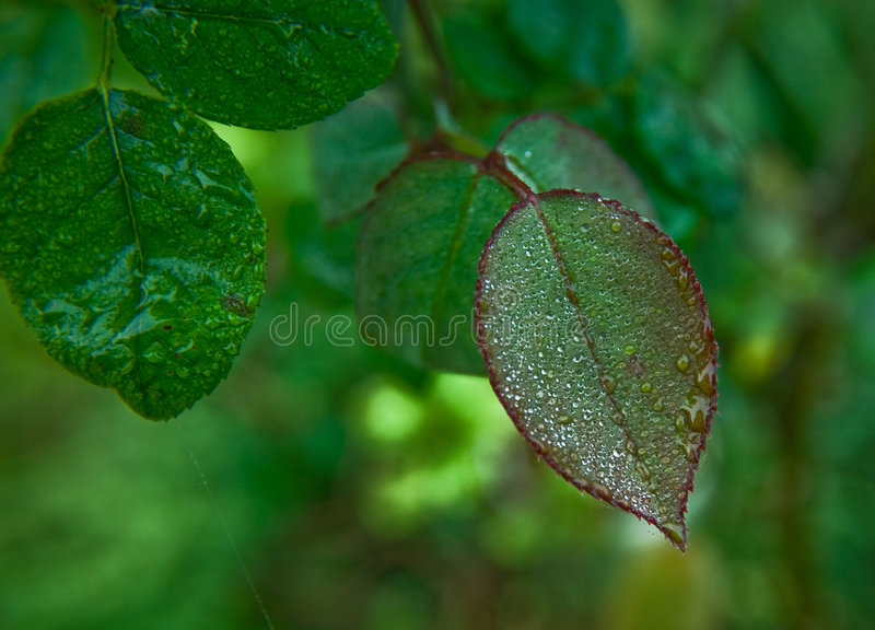 Dewdrops on the leaf royalty free stock photos
