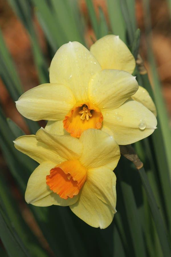 Dewdrops sui Daffodils immagini stock libere da diritti