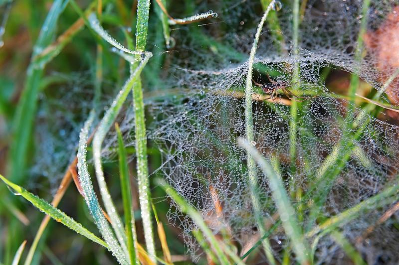 Dewed web and hidden spider. In the grass stock photos