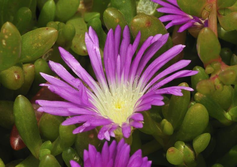 dewplant пурпур стоковая фотография rf