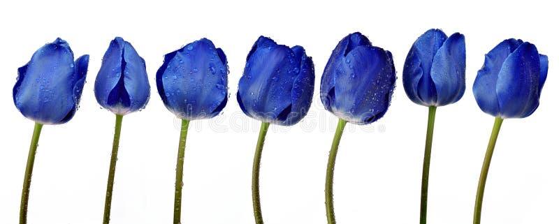 Dewy blue tulips. Isolated on white background stock photo