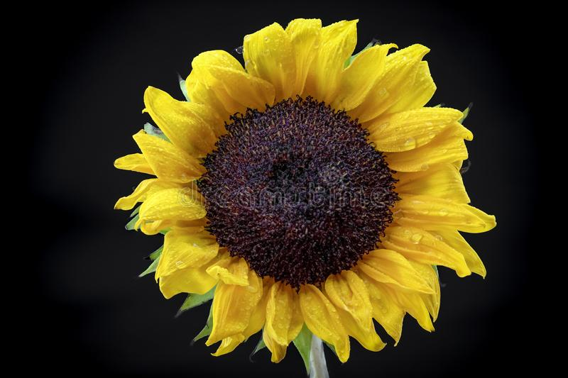 Dewy Close Up Yellow Sunflower with Black Background. A close up of a bright happy sunflower posed simply against a black backdrop and covered with misty dew stock photo