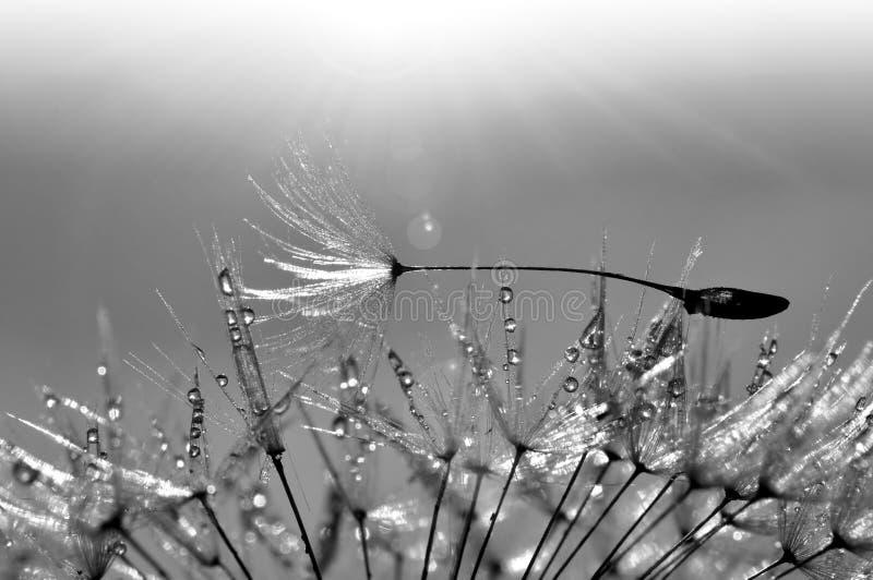 Dewy dandelion. Beautiful dewy dandelion - black and white royalty free stock photos