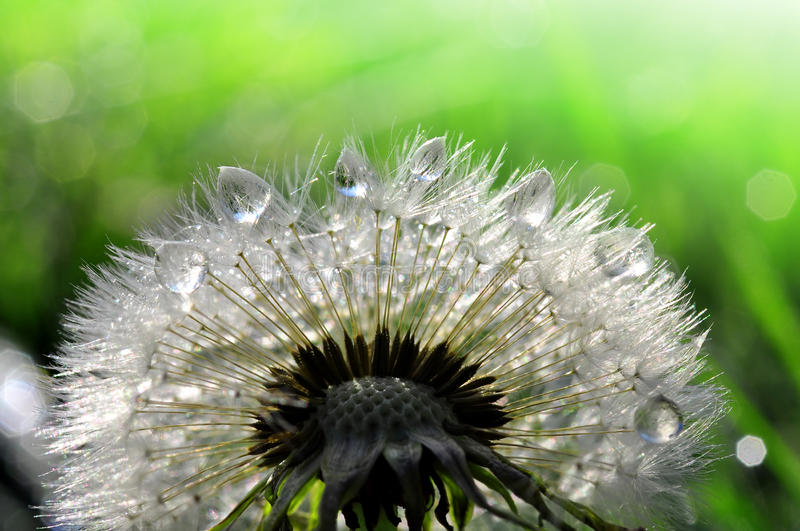 Dewy dandelion. On green natural background royalty free stock photography