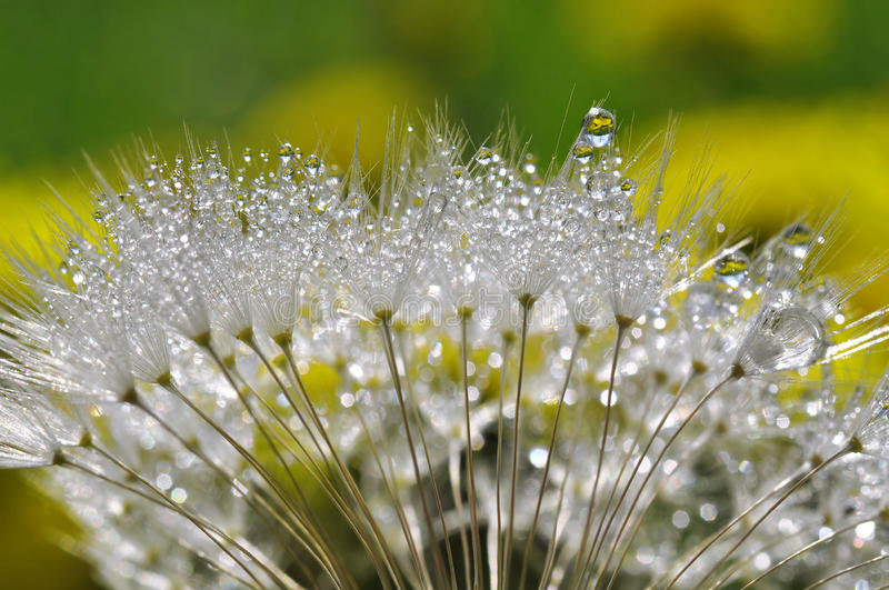 Dewy dandelion. Flower close up royalty free stock photos